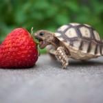 turtle_strawberry