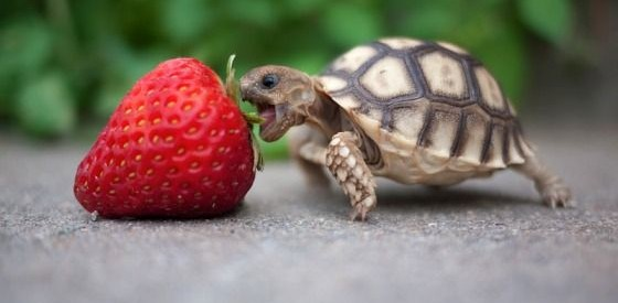 turtle_strawberry